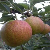 优质梨树苗批发梨树苗品种,梨树苗价格,梨树苗品种地