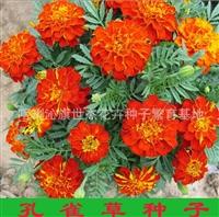 孔雀草种子 优质孔雀草 孔雀菊 小万寿菊、盆栽孔雀草